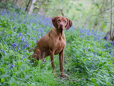 Hungarian Vizla Oscar enjoys the Bluebells