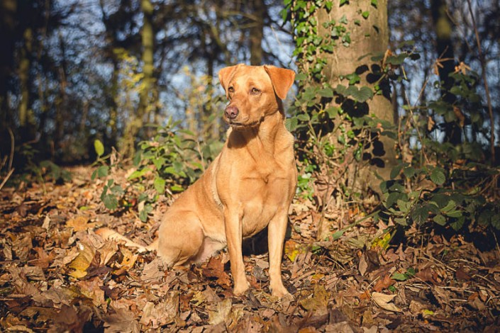 Fun Gloucestershire photo session with golden labrador dogs Tolly & Nora
