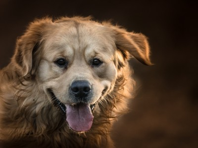Gloucestershire Dog photography session with Ted the Golden retriever